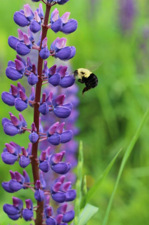Lupin and Bee